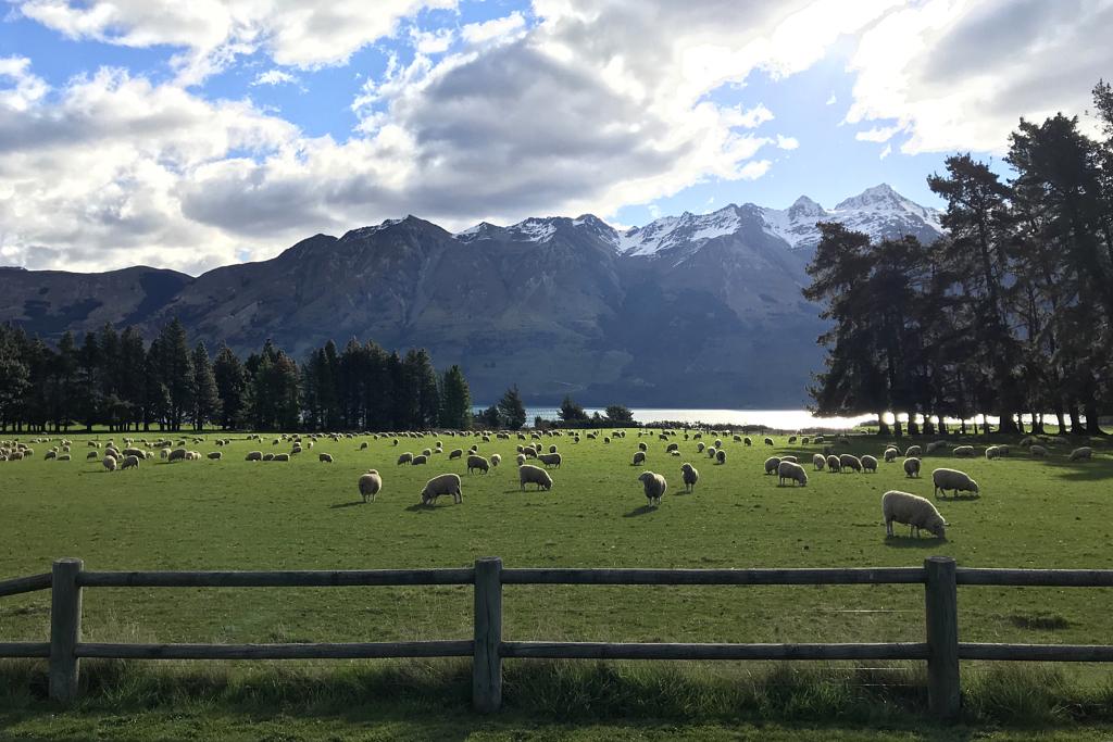حظيرة غنم في نيوزيلندا